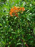 Asclepias lanceolata plant.jpg