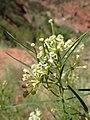 Asclepias subverticillata kz07.jpg