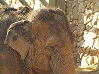 Asian Elephant 12.jpg