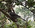 Asian Koel, Pune.jpg