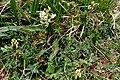 Astragalus australis a2.jpg