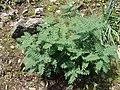 Astragalus lusitanicus.001 - Monfrague.jpg