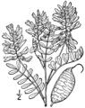 Astragalus neglectus BB-1913.png