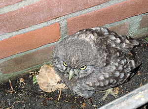 Little owl - Juvenile