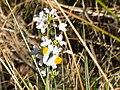 Aurorafalter - Anthocharis cardamines - panoramio.jpg
