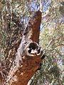 Australian Kestrel nestlings.jpg
