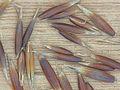 Avena sativa black oat, Zwarte haver graankorrels (2).jpg