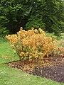 Azalea, Kew Gardens - geograph.org.uk - 176650.jpg
