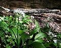 Bärlauch (Allium ursinum) an der Latrop im Naturschutzgebiet Waldreservat Schanze nördliche Teilfäche.jpg