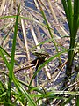 Béka - Frog (Jeli Arborétum) - panoramio.jpg