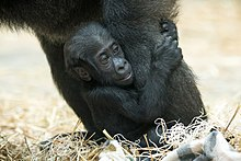Baby Gorilla Hanging On to Mom's Leg (21384919336).jpg