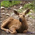 Baby Moose (3767628611).jpg