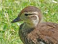 Baby bird (5589428715).jpg
