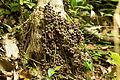 Baccaurea courtallensis muttipazham1.jpg