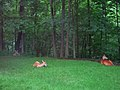 Backyard deer (5862755991).jpg