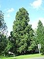 Bad Arolsen - Riesenmammutbaum 2021-08-07.JPG