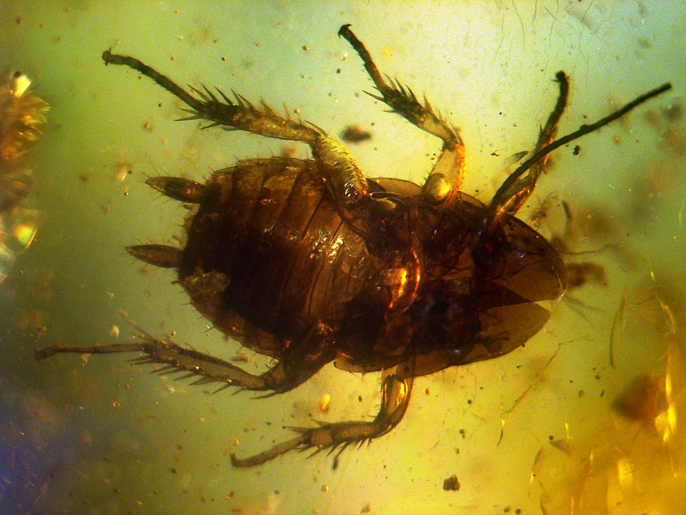 Baltic amber inclusions - Cockroach (Pterygota, Neoptera, Dictyoptera, Blattodea)