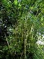 Bambusa vulgaris (Dominica).jpg
