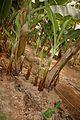 Banane (5).JPG