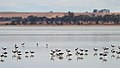 Banded Stiltsand Red-necked Avocets (24414070301).jpg