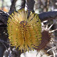 Banksia candolleana blacktips nofbadgingarra email.jpg