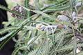 Banksia prionotes early bud Gnangarra 5.jpg