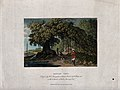 Banyan tree (Ficus benghalensis) growing on a lakeside. Colo Wellcome V0043226.jpg