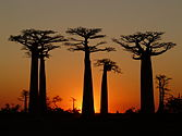 Baobabs Avenue Sunset 3.jpg