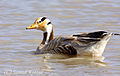 Bar-headed Goose by Samad Kottur.jpg