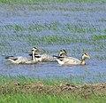 Bar-headed goose,Anser indicus.jpg