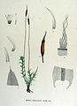 Barbula unguiculata — Flora Batava — Volume v15.jpg