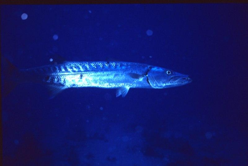 File:Barracuda at night.tif