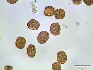 Spore - Image: Bartramia ithyphylla sporen