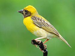 Baya weaver (Ploceus philippinus) Male ♂ Photograph by Shantanu Kuveskar.jpg