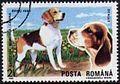 Beagle-Canis-lupus-familiaris Romania 1990.jpg