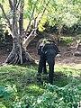 Beauty of the nature Elephant Kandalama Sri lanka 2.jpg