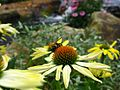 Bee-Yellow-Cone-Flower-Waterfall ForestWander.jpg