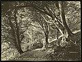 Beech Wood, Kilkeel (13406381063).jpg