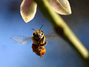 Flying and gliding animals - A bee in flight.