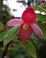 Begoniafuchsioides.jpg