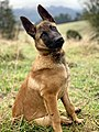 Belgian Malinois Male Puppy.jpg