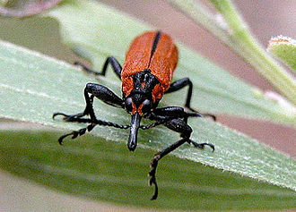 Belidae - Rhinotia haemoptera resembles a fire-coloured beetle (Pyrochroidae) in colour.