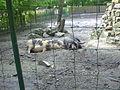 Bentheimer Landschweine im Tierpark Weißwasser.JPG
