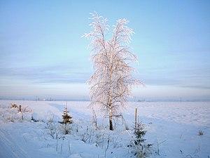 Berželis žiemą.JPG