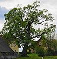 Bergahorn beim Anwesen Habel in Preitenegg, Bezirk Wolfsberg.jpg
