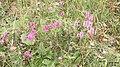 Betonica officinalis (Ehrwald Alm path) (15766258305).jpg