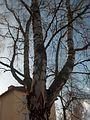 Betula pendula in Plantskoleområdet spring 2008-1.JPG