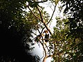 Bird Wreathed Hornbill Rhyticeros undulatus IMG 9195 (4).jpg