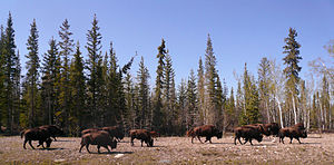 Yellowknife Highway - Buffalo along the Yellowknife Highway