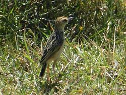 Black-backed Cisticola female JM.jpg